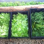 December harvest of local greens in Truckee